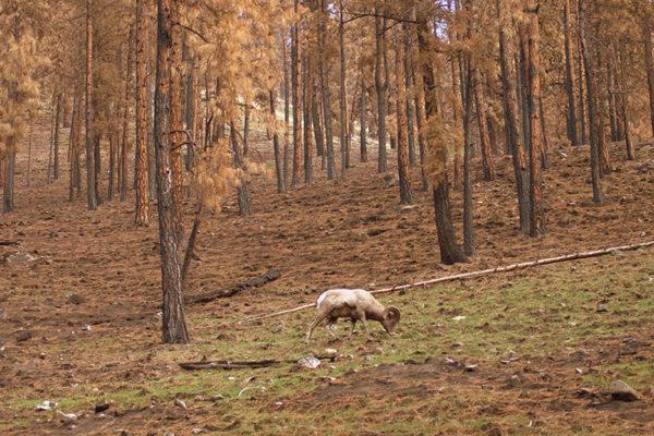 A ram grazing.