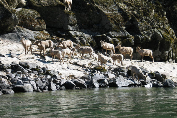 Bighorn sheep on the banks of the Salmon River.