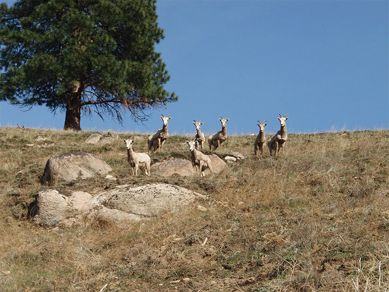 Bighorn sheep on a steep hillside above the Ranch.