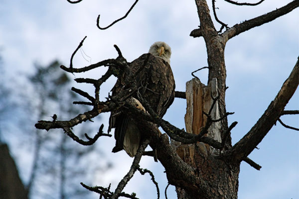 A bald eagle looks down from its perch.