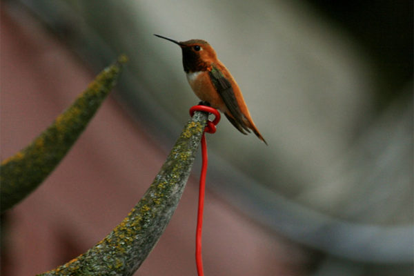 A hummingbird pauses on a set of weathered antlers at the lodge.