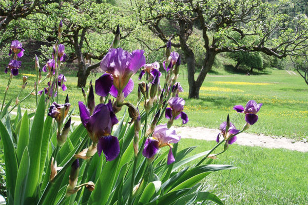 Purple iris in bloom.
