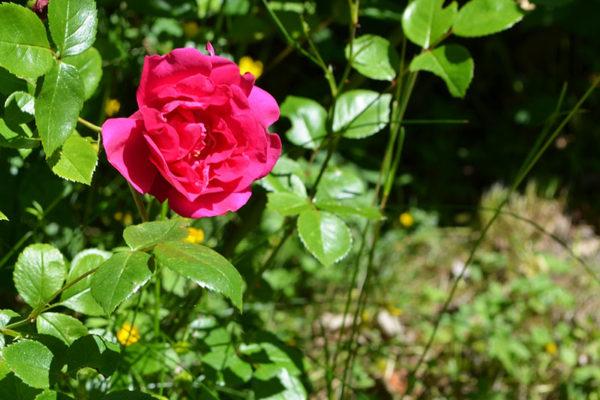 Roses in spring.