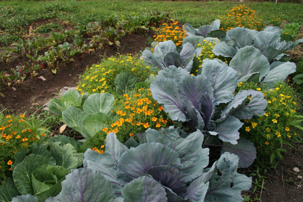 Vegetables and flowers in the Shepp garden.